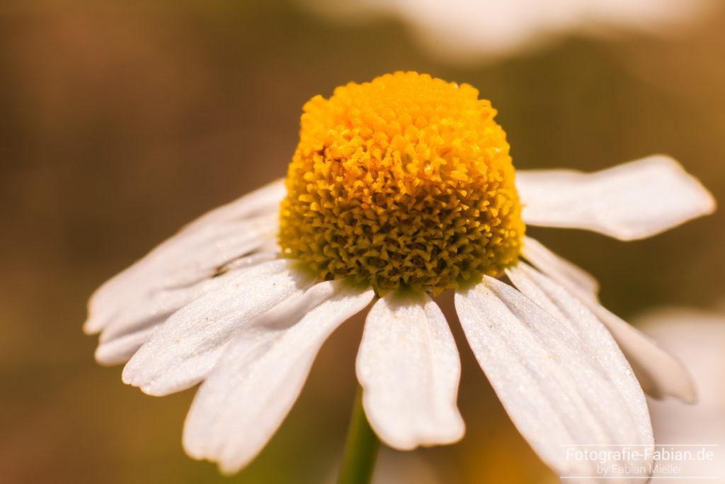 Blume Makro