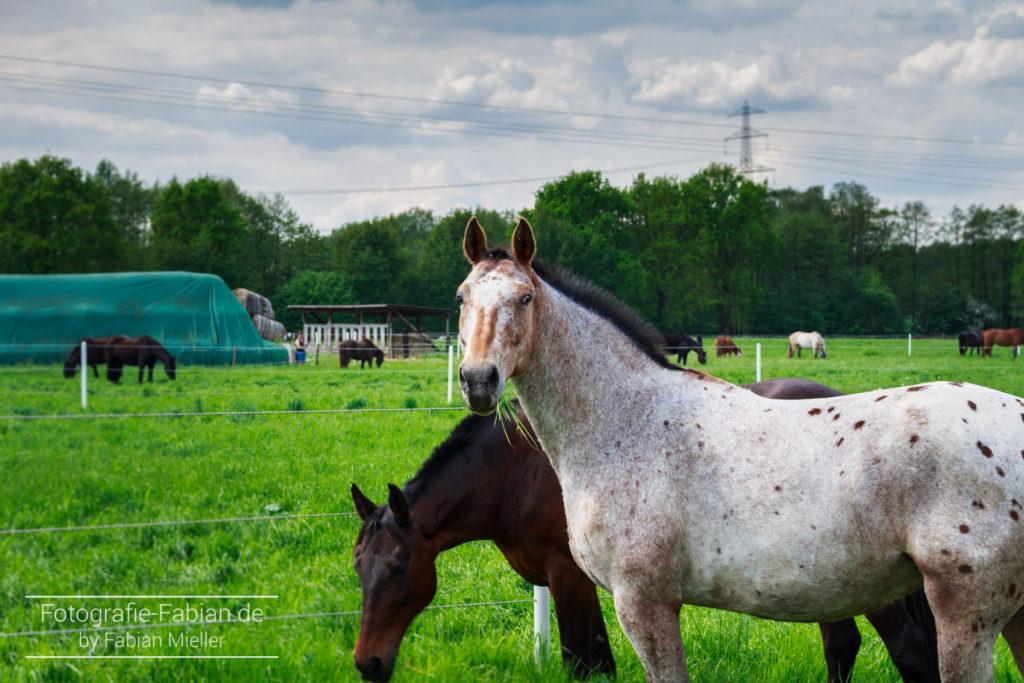 Appaloosa Pferd